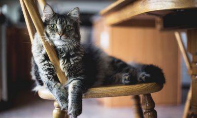 5 choses à savoir pour amener un chat adulte dans votre maison 2