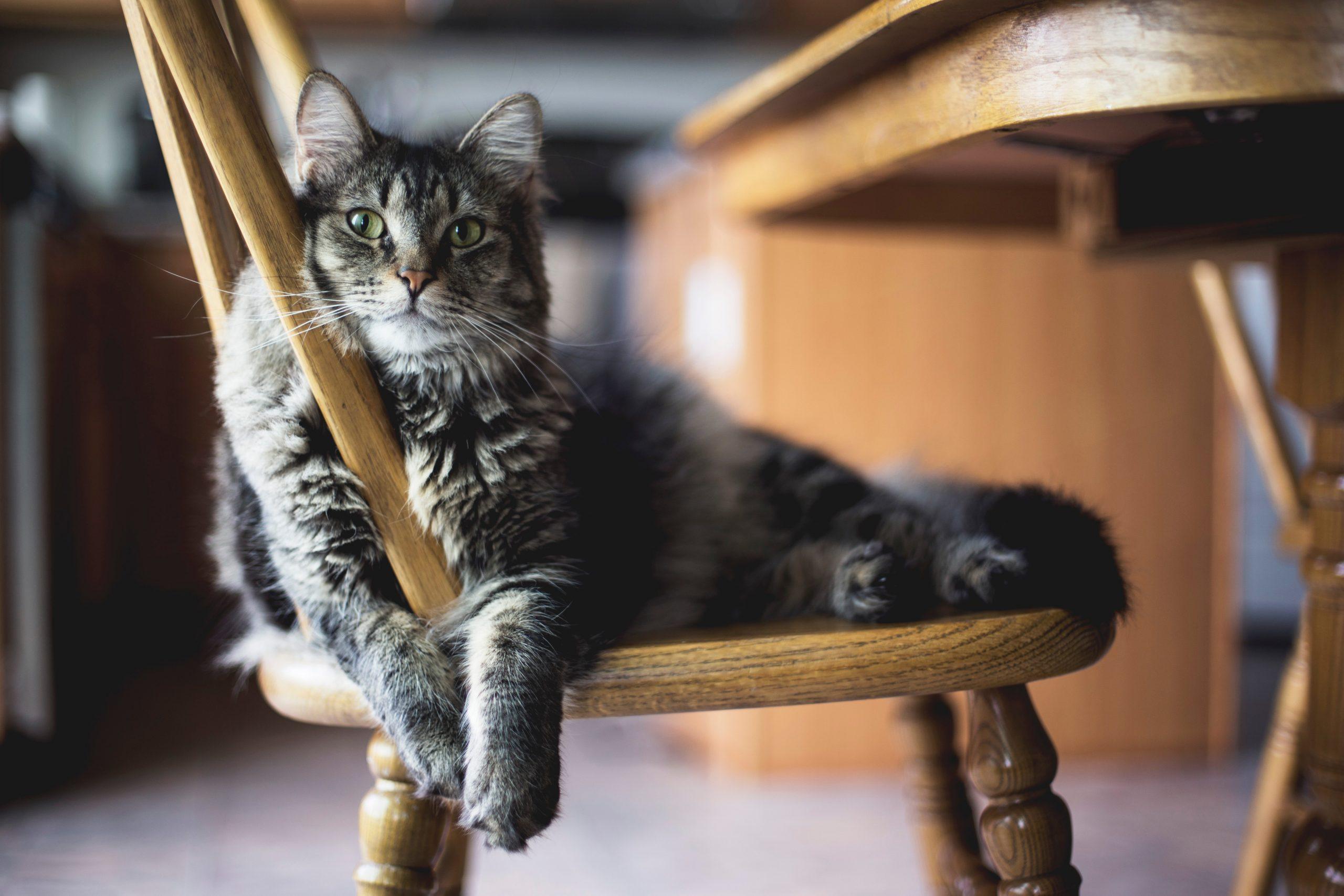 5 choses à savoir pour amener un chat adulte dans votre maison 21