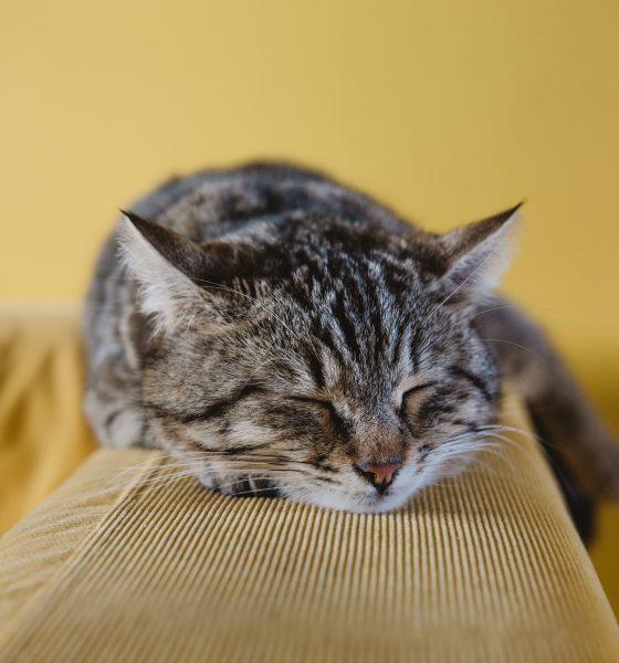 Comment les chats attrapent-ils le coronavirus? 1