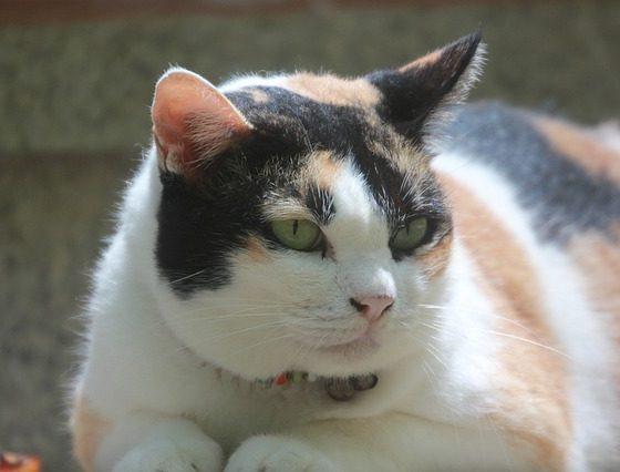 Comment faire perdre du poids à son chat ? 1
